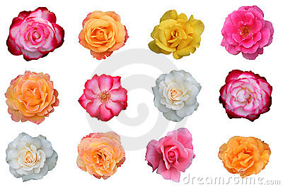 Beautiful collection of rose blossoms