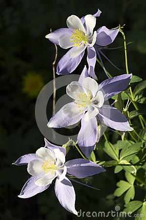 Free Beautiful Colorado Alpine Columbine Flowers Along Vail Mountain Hiking Trail Royalty Free Stock Images - 35016499