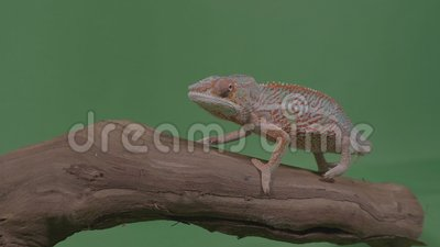 Beautiful colored chameleon sitting on a branch studying the environment green screen in background -. Beautiful colored chameleon sitting on a branch studying stock video