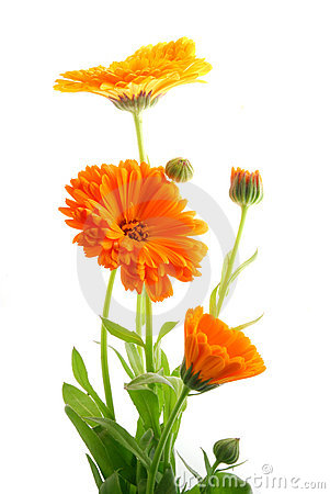 Free Beautiful Colorful Flowers Royalty Free Stock Images - 5572359