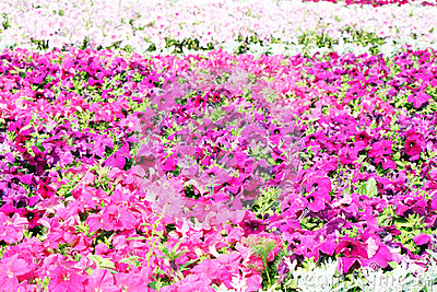 Beautiful colorful petunias on the flower field