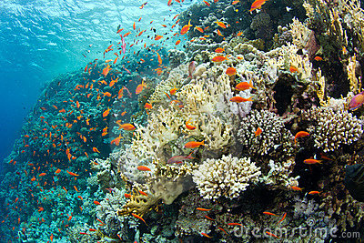 Beautiful coral reef with anthias