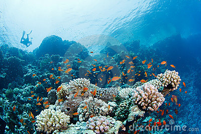 Beautiful coral reef with anthias and diver