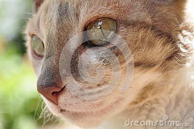 Beautiful Cornish Rex Cat