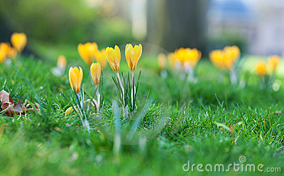 Beautiful crocus flowers
