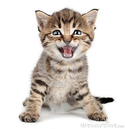 Free Beautiful Cute Little Kitten Meowing And Smiling Royalty Free Stock Photos - 31496658