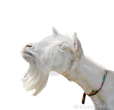 Free Beautiful, Cute, Young White Goat Isolated On White Background. Farm Animals. Funny Goat Try To Kiss Someone Royalty Free Stock Image - 82782136