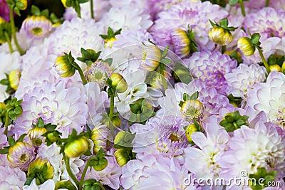 Beautiful dahlias flowers close up background