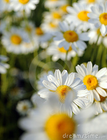 Beautiful Daisy flowers