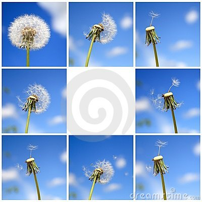 Beautiful dandelion collage