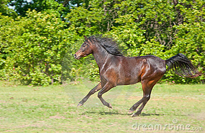 Beautiful dark bay Arabian horse galloping