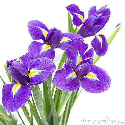Free Beautiful Dark Purple Iris Flower Stock Image - 18083601