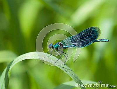 Beautiful Demoiselle