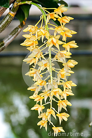 Beautiful dendrobium orchid