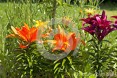 Beautiful different colored lilies in the garden
