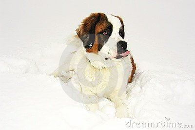 Beautiful dog  saint bernard