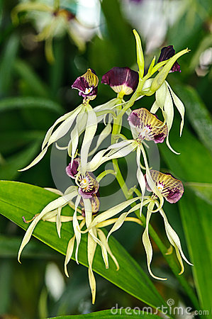 Beautiful Eneyelia cochleata orchid