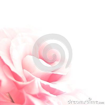 Beautiful Eustoma Flower on the White Background