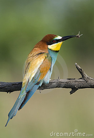 Beautiful exotic bird eating bee