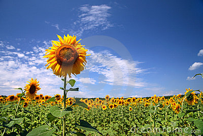 Beautiful field sunflowers