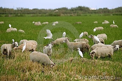 Beautiful flock of sheeps  with dipped white birds