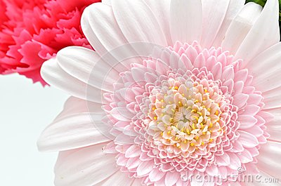 Beautiful flower. (Gerbera)
