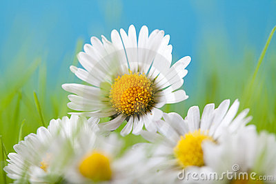 Beautiful flowers - daisy