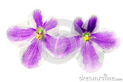 Beautiful flowers Saintpaulia