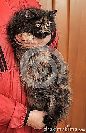 Beautiful fluffy tortoiseshell cat