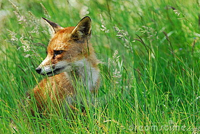 A beautiful fox (Vulpes vulpes)