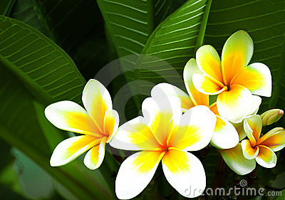 Beautiful frangipani flowers