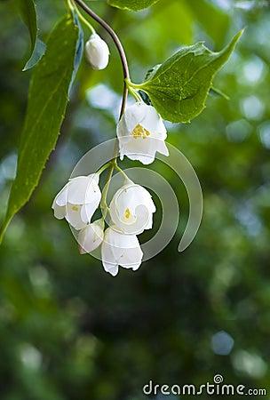 Beautiful fresh jasmine flowers