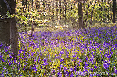 Beautiful fresh Spring bluebell woods