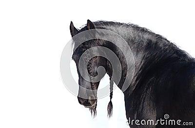 Beautiful frisian stallion