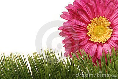 Beautiful fuchsia gerbera daisy flower on green grass isolated on white background
