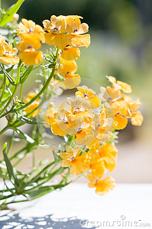 Beautiful garden flower Nemesia strumosa