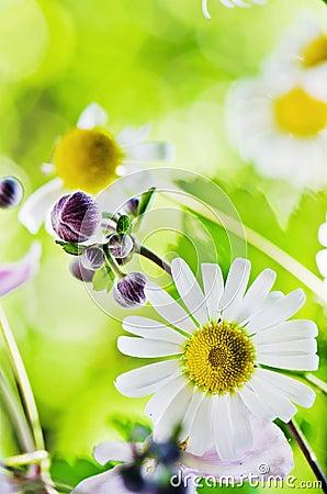 Beautiful gentle Chamomile, close-up