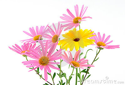 Beautiful gerbera daisies