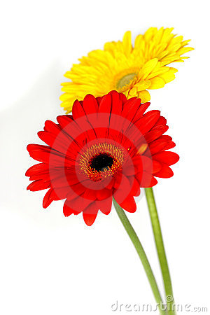 Free Beautiful Gerberas Royalty Free Stock Photos - 14144108