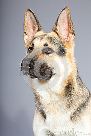 Beautiful german shepherd dog isolated