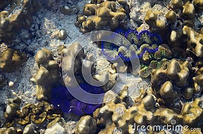 Beautiful giant clams in the sea