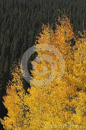 Beautiful Golden Aspen Leaves Against Rocky Mounta