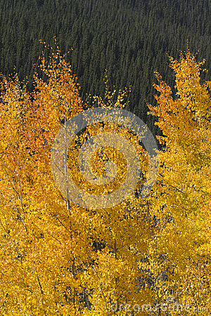 Beautiful Golden Aspen Leaves Against Rocky Mounta