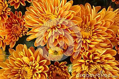 Beautiful golden fall mums