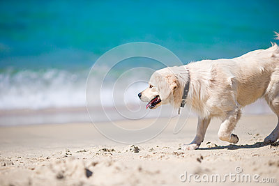 Beautiful golden retriever playing in waves of the sea at a sunny day Stock Photo