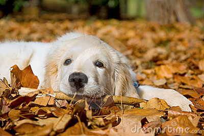 Beautiful Golden Retriever puppy lying down