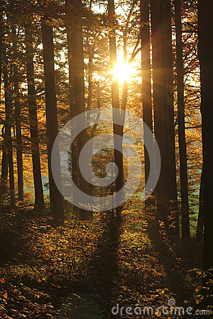 Free Beautiful Golden Sun In The Forest At Sundown Royalty Free Stock Photography - 62439237