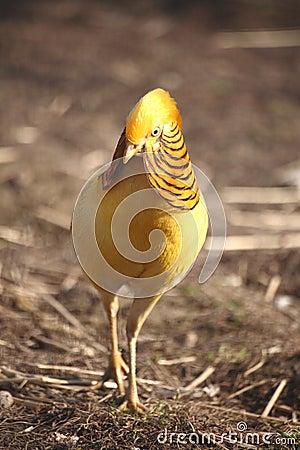Beautiful gorgeous pheasant