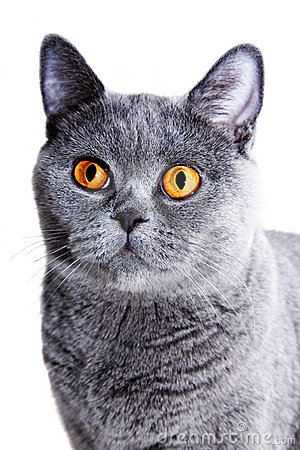 Beautiful gray British cat