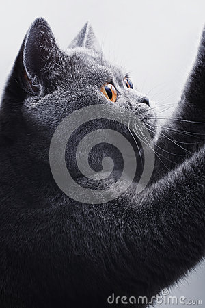 Beautiful gray British cat on a light background